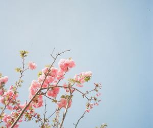 cherry blossom, flowers, and beautiful image