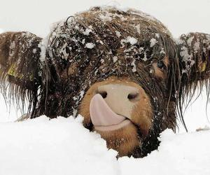 snow, cow, and animal image