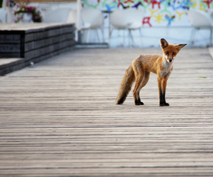 curious, ears, and fox image