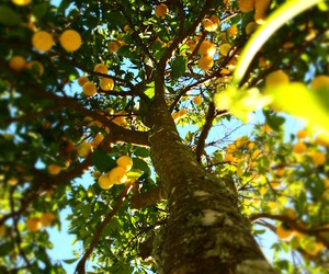 lemon, orange tree, and built-from-raw image