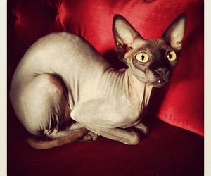 cat, sphynx, and piaf image