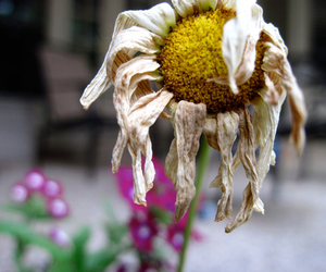 daisy, dead, and dead flower image