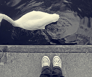 converse, Swan, and water image