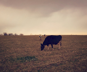 cow and farm image