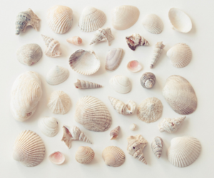shells and white image