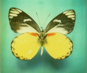 butterfly, animal, and vintage image