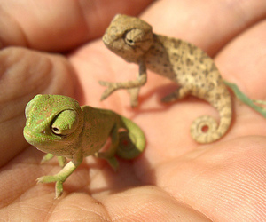 cute, animal, and chameleon image