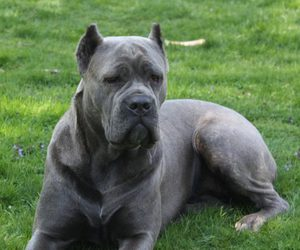 44 Images About Cane Corso On We Heart It See More About Cane