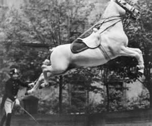 dressage, lipizanner, and capriole image