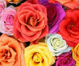 rose and colourful roses image