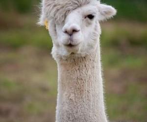llama, sex, and sexy image