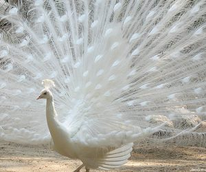 peacock and white image