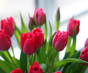 beautiful, green, and pink tulips image