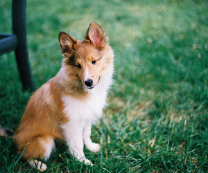 collie, cute, and dog image