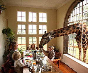 giraffe and family image