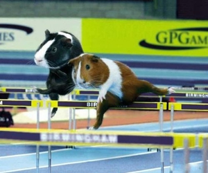 guinea pigs, xD, and olympics image