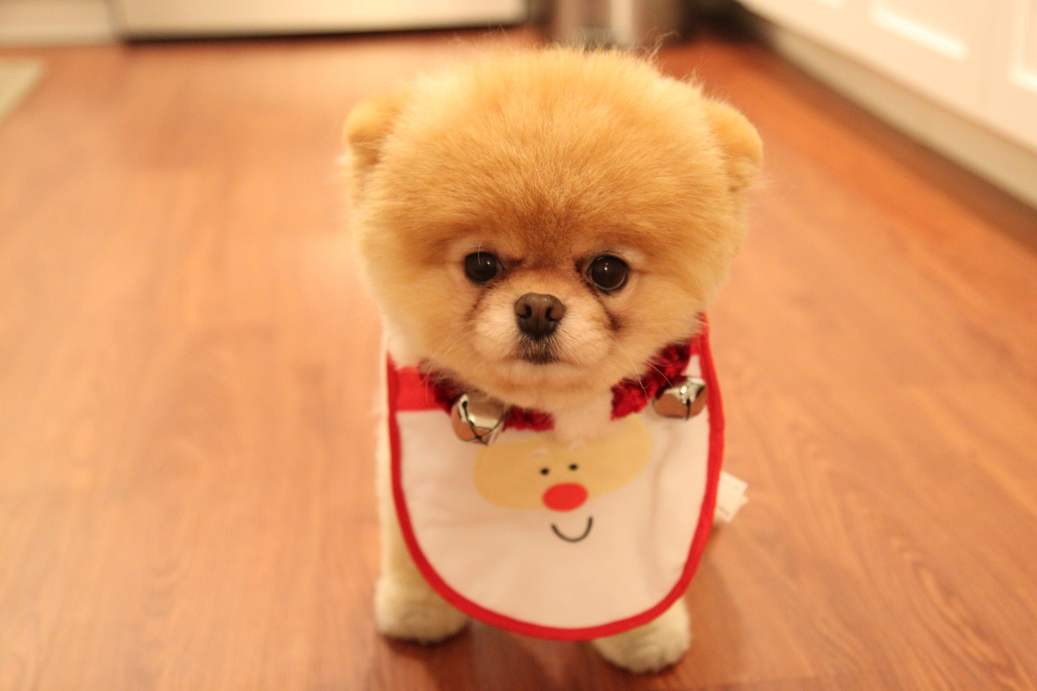cute boo dog uploaded by dilara on we heart it