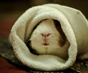 guinea pig, cute, and animal image