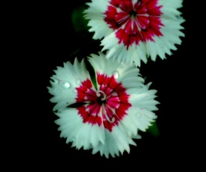 flower, red, and white image