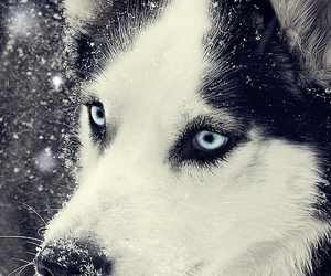dog, snow, and husky image