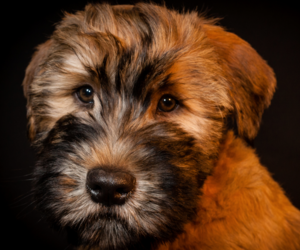 cute puppy, wheaten terrier, and dog image