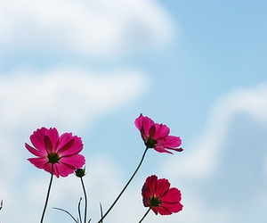 cosmos, d40, and flower image