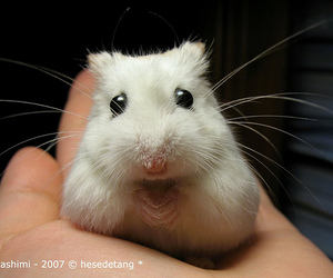 adorable, furry, and mouse image