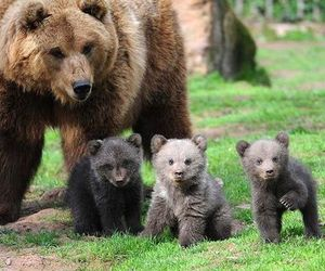 cute, animal, and bear image