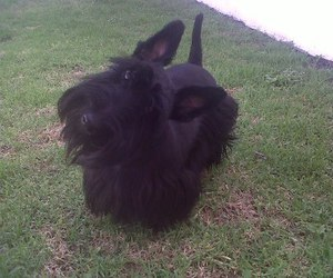 cute, scottish terrier, and piki image