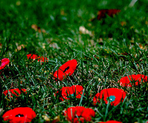 poppies, remembrance day, and toronto image