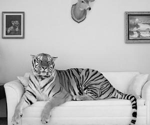 tiger, animal, and sofa image