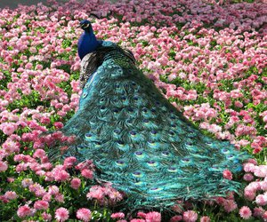 peacock, flowers, and beautiful image