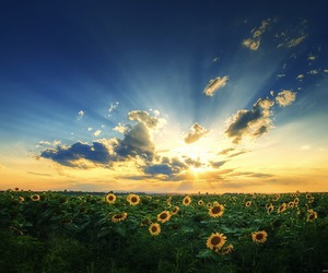 sun, flowers, and sunflower image
