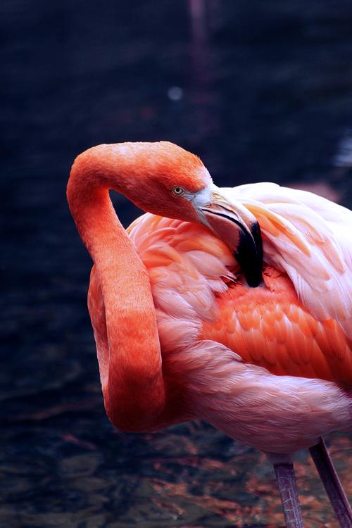 animal, flamingo, and pink image
