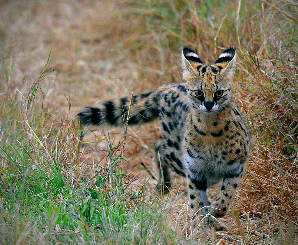 animal, cat, and serval image