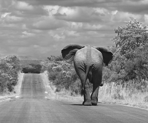 elephant, animal, and road image