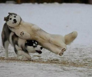 dog, funny, and husky image