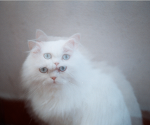 fluffy, white, and white cat image