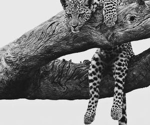 animal, black and white, and leopard image