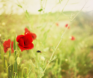 35mm, poppies, and bee image