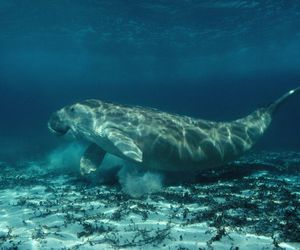 dugong and dugong image