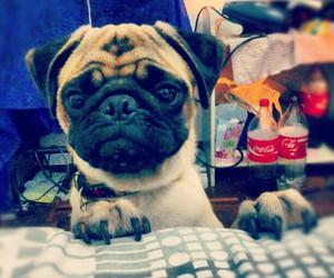 adorable, beautiful, and pug image