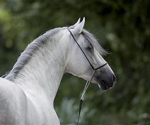 andalusian, horse, and pura raza espanola image