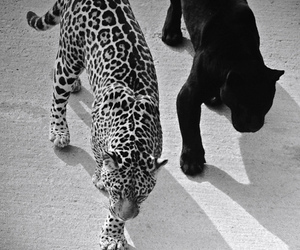 animal, leopard, and black and white image