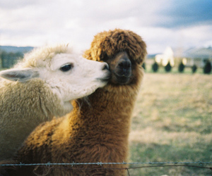 adorable, llama, and cute image