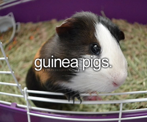 guinea pig, cute, and pet image