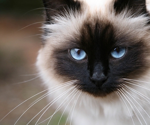 cat, blue eyes, and animal image