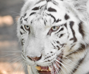 beautiful, tiger, and white image