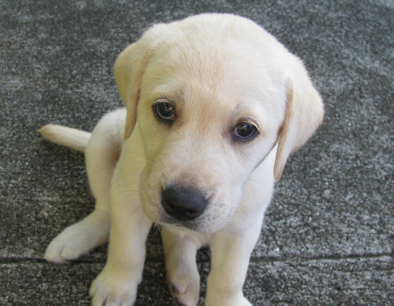 Yellow Lab Puppy Uploaded By Pletchhh On We Heart It