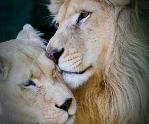 lion, animal, and love image